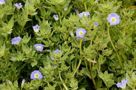 charnu: Nolana paradoxa, Nolanaceae, cultiv�e herbac�e vivace avec des branches ascendantes charnues, feuilles velues ovales traqu�es et fleurs bleues avec du blanc et gorge jaune