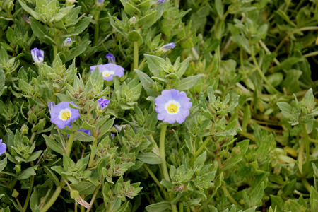 fleshy: Nolana paradoxa, Nolanaceae, Cultivated perennial herb with ascending fleshy branches, hairy, ovate stalked leaves and blue flowers with white and yellow throat