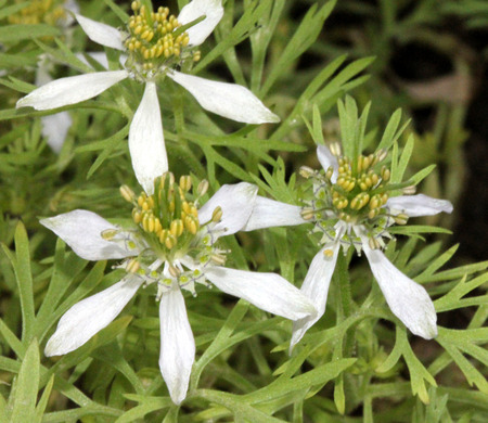 nigella seeds: Black-caraway, black-cumin, Nigella, Roman-coriander, Kalonji, Nigella sativa, cultivated annual herb with finely dissected leaves, pale white to blue flowers, and fruit of united follicles with numerous shining black onion-like seeds, used as spice  Stock Photo