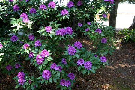 l�bulo: Rododendro p�rpura de la pasi�n, variedad con h�bito de hoja perenne arbustiva, hojas verde oscuro y flores de color p�rpura en racimos, l�bulo superior p�lido con manchas p�rpura, florecen en primavera