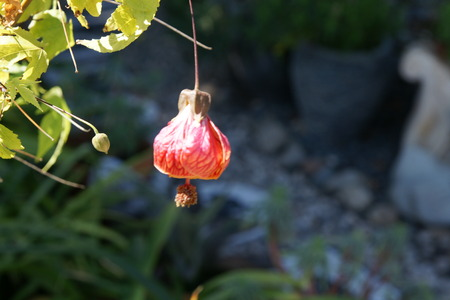 drooping: Chinese lantern, Abutilon hybridum, Malvaceae, Shrub with drooping orange-red coloured flowers with striations and persistent calyx