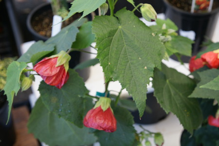 malvaceae:  Chinese lantern, Red flowering maple, Abutilon hybridum  Nabob , Malvaceae, Shrub with 3-lobed leaves and drooping red coloured flowers with striations and persistent calyx