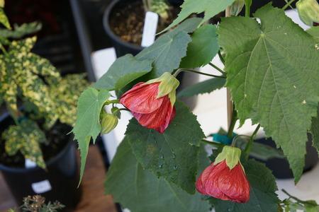drooping:  Chinese lantern, Red flowering maple, Abutilon hybridum  Nabob , Malvaceae, Shrub with 3-lobed leaves and drooping red coloured flowers with striations and persistent calyx