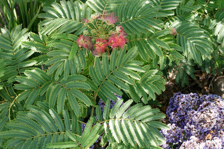 numerous:  Pink siris, Albizia julibrissin, tree with bipinnate leaves with numerous leaflets and pink flowers in clusters, flat pods