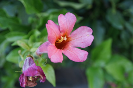 leaflets: Crossvne, quarter vine, Bignonia capeola, Bignoniaceae, woody climber with paired leaflets, tendrils and orange coloured tubular-funnel shaped flowers, ideal for wall covers and fencings