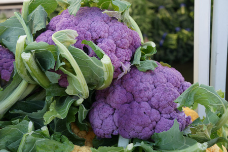 nutrients:  Graffiti cauliflower, Brassica oleracea var  botrytis, cultivar with purple compact heads, rich in nutrients particularly anthocyanins and antioxidants