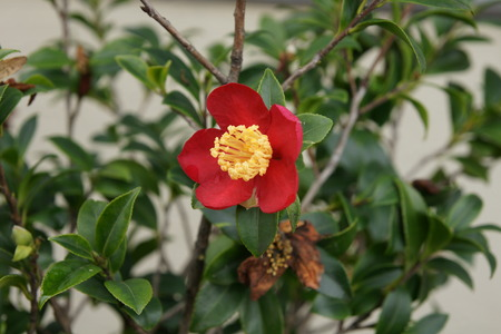 cm: Christmas camellia, Camellia sasanqua, Yuletide camellia, evergreen shrub with broad elliptic 3-7 cm long leaves with finely serrated margins, flowers 5-7 cm across with white to dark pink petals Stock Photo