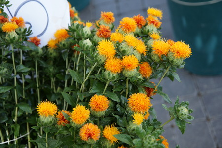 safflower: Safflower, Carthamus tinctorius, Asteraceae, Annual thistle-like herb with golden-yellow globose flowe-heads, source of red and yellow dye and for cosmetic and edible oil
