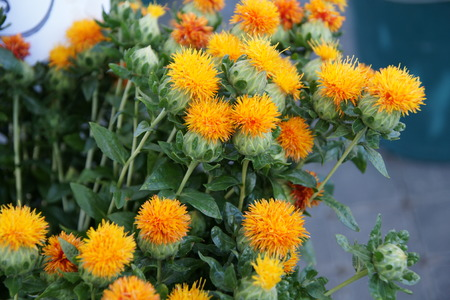 Safflower, Carthamus tinctorius, Asteraceae, Annual thistle-like herb with golden-yellow globose flowe-heads, source of red and yellow dye and for cosmetic and edible oil