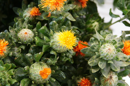 globose: Safflower, Carthamus tinctorius, Asteraceae, Annual thistle-like herb with golden-yellow globose flowe-heads, source of red and yellow dye and for cosmetic and edible oil