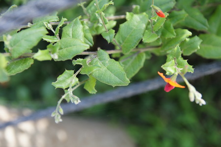 arching: Flame pea, Chorizema cordata  Bush Flame , evergreen bush up to 1 m tall with arching to semi-erect sprays of brilliant orange and pink flowers, peak flowering from fall through early spring  with bright green heart-shaped leaves