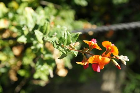 arching: Pea Llama, Chorizema cordata Bush llama, arbusto de hoja perenne de hasta 1 m de altura, con arquear a semierecto chorros de brillante color naranja y flores de color rosa, la floraci�n pico desde el oto�o hasta principios de primavera con brillantes hojas en forma de coraz�n verde Foto de archivo