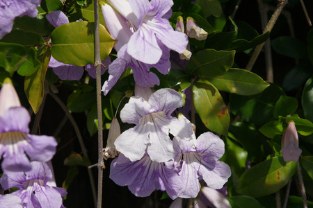 leaflets: Lavender trumpet vine, Clytostoma callistegioides, evergreen vine up to 6 m long, with dense foliage, paired leaflets up to 7 cm long, long slender tendril, trumpet-shaped lavender flowers with darker purple veins, up to 8 cm long in clusters, spiny elong Stock Photo