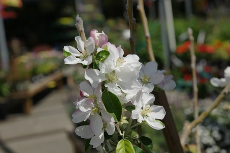 burchell: Burchell pink apple, a new cultivar with delicious sweet  Medium sized fruit  Yellow skin blushed with pink, Malus domestica