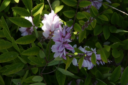 Kirilow indigo, Indigofera kirilowii, small deciduous shrub with pinnate leaves and pink to mauve wisteria like flowers, suitable for pots and mix growings Zdjęcie Seryjne