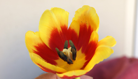 anthers: inside tulip flower showing 6 tepals in two whorls each red in basal part and yellow in upper part, six black anthers and ovary with 3-lobed stigma, ornamental, Liliaceae