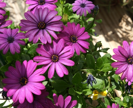 Osteospermum ecklonis  Serenity Dark Purple , a cultivar of African daisy, a low bushy perennial with dark purple radiate heads with nearly black center Stock Photo