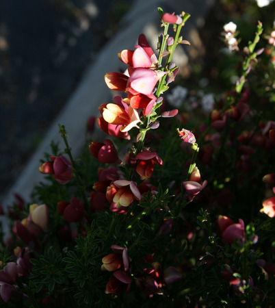 margins: Cytisus praecox  Hollandia , ornamental shrub with trifoliate leaves and purple pea-like flowers with white margins, in small clusters Stock Photo