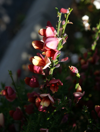 Cytisus praecox  Hollandia , ornamental shrub with trifoliate leaves and purple pea-like flowers with white margins, in small clusters Stock Photo