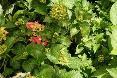 serrated: Hydrangea macrophylla Pia, dwarf cultivar usually less than 70 cm tall deciduous shrub with large serrated leaves and pink flowers
