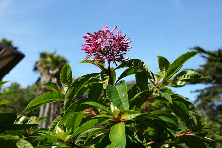 erect:  Lilac Fuchsia, Fuchsia arborescens, erect, evergreen shrub or small tree, leaves dark green, glossy, in whorls, flowers pale pink, dark pink in buds, in panicles, fragrant, fruit purple, globose