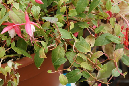 lax:  Fuchsia  Tom West , erect lax, deciduous shrub, leaves purple-veined, cream-and-light green, variegated, flowers small, single, reddish-pink and purple, summer flowering
