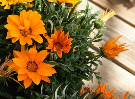 splendens:  Gazania ringens  Kiss Orange , formerly Gazania splendens