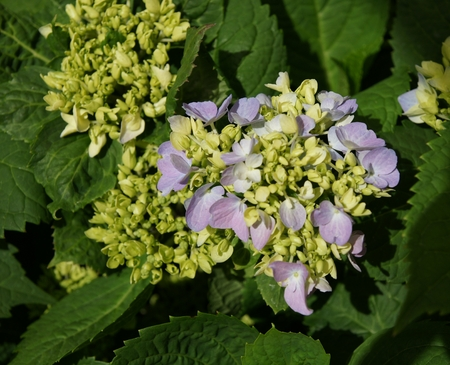 hardy: Hydrangea macrophylla  Bailmer , cultivar producing flower heads on both new and old growth, winter hardy, flowering in summer as well as winter Stock Photo