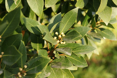Bay laurel, sweet bay, Laurus nobilis, evergreen aromatic tree with green glossy leaves, pale yellow-green flowers, male and female flowers on different trees, small black fruits, leaves used as seasoning for foods photo
