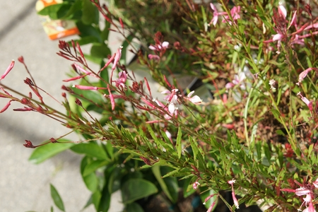 lance shaped:  Gaura lindheimeri  Pink Cloud , herbaceous perennial with arching red stems, lance shaped leaves often spotted red and pink 4-petaled flowers in panicles Stock Photo