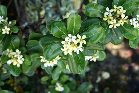 Japanese mock orange, Pittosporum tobira, Japanese cheesewood, evergreen shrub with thick green leaves, white to pale yellow flower