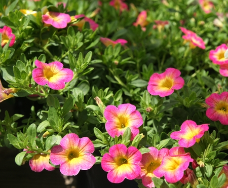 Calibrachoa  Superbells Sweet Tart , ornamental herb with petunia-like pink flowers with yellow throat, suitable for pots and window boxes in sunny areas