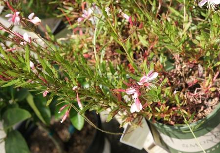 arching: Gaura lindheimeri Pink Cloud, herb�cea perenne con tallos arqueando rojo, hojas en forma de lanza a menudo visto flores de 4 p�talos rojos y rosados ??en pan�culas Foto de archivo