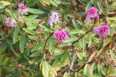 showy:  New Zealand Hebe, Hebe speciosa, showy hebe, evergreen shrub with dark green up to 5 cm long leaves and pink flowers in compact up to 8 cm long inflorescence