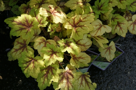 foamy: Heucherella  Stop Light , Foamy bells, ornamental perennial herb with golden basal leaves with red radiating center, small white flowers on slender inflorescence