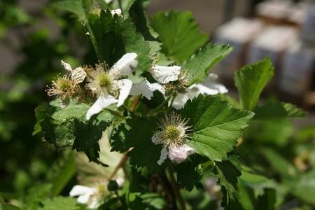 developed: un cultivar desarrollado como h�brido entre Arapaho y Arkansas Foto de archivo