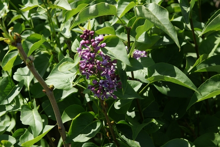 sensation: Syringa vulgaris  Sensation