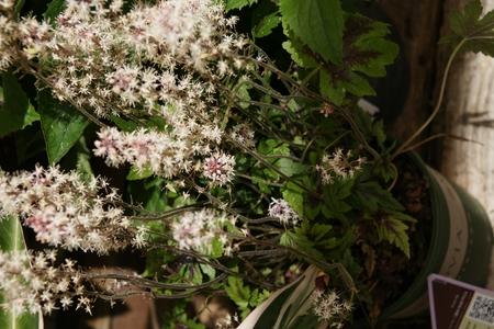 pinnately:  Foam flower Tiarella  Sugar and Spice  Stock Photo