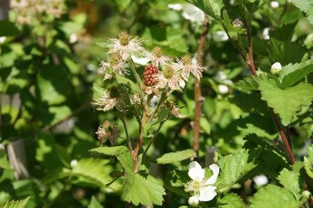 scrambling: Apache mora, Rubus ursinus Apache, sempreverde spina-meno scrambling arbusto con fiori rosa pallido al quasi bianco e nero lucido frutti di grandi dimensioni, sviluppato da University of Arkansas Archivio Fotografico
