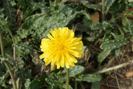 bracts: Helminthotheca echioides, Picris echioides, bristly-ox-tongue, bristly herb with bristles on leaves and stem, yellow flower-heads surrounded by 3 to 5 involucre bracts often curved