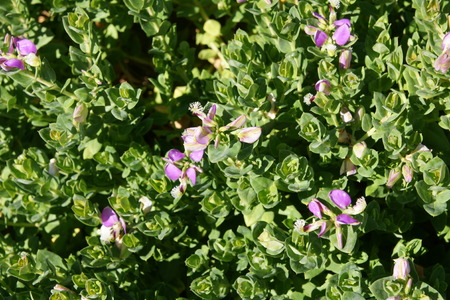 keel: Polygala myrtifolia, evergreen shrub or small tree with oval up to 5 cm long leaves and mauve flowers with brush-like tuft on keel flowering most of the year