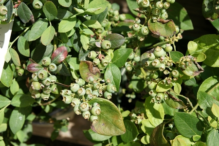 bountiful: Bountiful blue blueberry, Vaccinium corymbosum  Bountiful blue , bush with blue-green oval leaves turning red in autumn, supersweet blue juicy berries Stock Photo