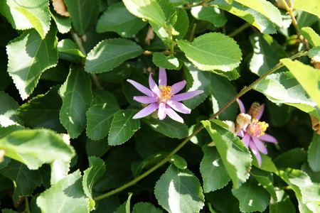 serrate: Crossberry, Grewia occidentalis, decorative small deciduous tree with shining deep green serrate leaves, purple star shaped flowers and four lobed reddish-purple fruits