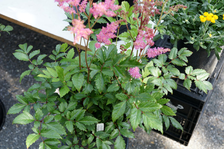serrate: Astilbe japonica  Rheinland , cultivated ornamental herb with glossy green pinnate to bipinnate leaves with serrate leaflets and dark pink spreading panicles of flowers Stock Photo