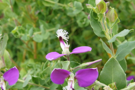 pea shrub: Polygala dalmaisiana, sweet pea shrub, tender, erect, spreading evergreen shrub with elliptic to lanceolate dark green leaves terminal racemes of magenta or purple flowers with white keels Stock Photo