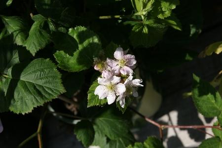 shinning: Black Satin Blackberries, Rubus fruticosus  Black Satin , Thornless shrub producing large black shinning fruits on second year branches or floricanes