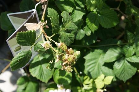 rubus: Black Satin , Rubus fruticosus  Black Satin , Thornless shrub producing large black shinning fruits on second year branches or floricanes