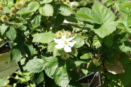 black satin: Black Satin Blackberries, Rubus fruticosus Negro Sat�n, Thornless arbusto que produce grandes frutos negros brillando en las ramas o floricanes segundo a�o