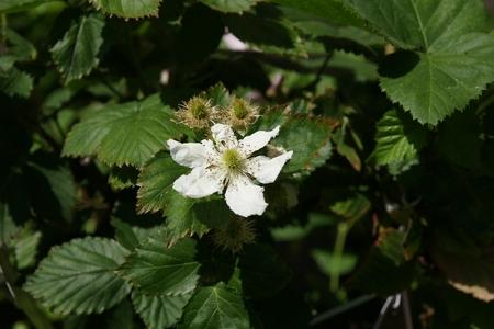rubus: Black Satin Blackberries, Rubus fruticosus  Black Satin , Thornless shrub producing large black shinning fruits on second year branches or floricanes