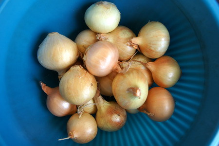 pickling: Bulbs usually 2-4 cm in diameter with golden papery skin and white fleshy layers within, in true pearl onion  Allium porrum var  sectivum  which has single bulb like garlic, used for pickling, salads, stirfries Stock Photo